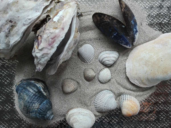 Seashells from Juist